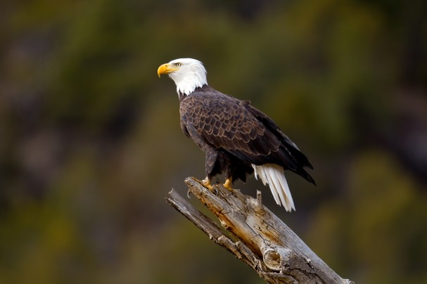 Bald Eagle Photo by Wil Harmsen