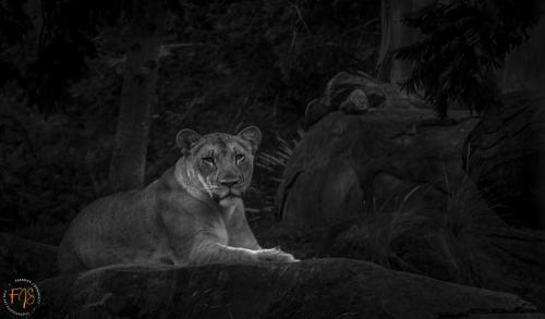 """Fredrick Shacklett - """"Lioness In Shade"""""""