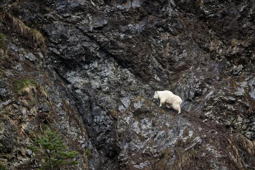 Rajan Desai - Mountain Goat on the move
